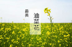 The most beautiful canola flower background ppt template
